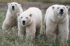 """Three Polar Bears"" - photo by BJ Kirschhoffer, via Polar Bears International Polar Bear Hunting, Polar Bears International, Polaroid, Animals Images, Wild Animals, Fuzzy Wuzzy, Bear Photos, Wild Creatures, Viajes"