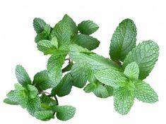 Мята-популярное растение имеет несколько преимуществ, в том числе надлежащего переваривания пищи и потери веса, избавление от тошноты, депрессии, усталости и головной боли. Она используется в лечении астмы, амнезии, и ухода за кожей. Этот популярный освежитель дыхания, клинически называют мента и имеет более двух десятков видов и множество сортов. Это лекарственное растение, которое использовалось на протяжении …