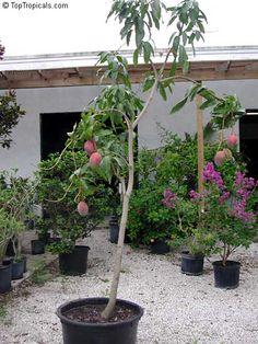 Fruit Plants, Fruit Garden, Fruit Trees, Mango Varieties, Mango Tree, Container Gardening, Health Tips, Avocado, Backyard