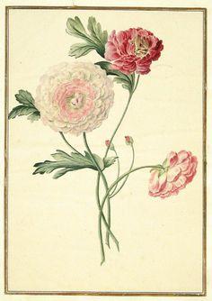 More botanical watercolours taken from 'Karlsruher Tulpenbuch'...