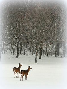 Deer in the Snow (by Eve'sNature)
