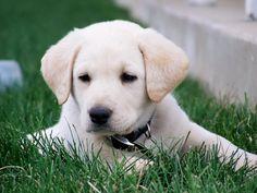 Platinum Performance Yellow Lab puppy