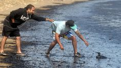 Derek Fisher (L) holds onto the shirt of Steven Botello as he tries to reach out to help an oil soaked bird that washed ashore at Refugio State Beach Campground in Goleta, May 19. (Lara Cooper/Noozhawk.com via Reuters)