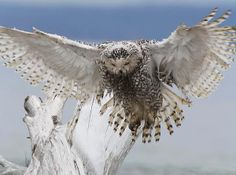 http://fineartamerica.com/featured/3-snowy-owl-angie-vogel.html