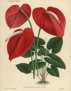 Photograph-Scarlet flamingo flower or anthurium lily-Photograph printed in the USA Botanical Drawings, Botanical Prints, La Malmaison, Flamingo Flower, Illustration Botanique, Plant Illustration, Design Textile, Fine Art Prints, Framed Prints