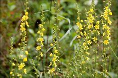 Αγριμόνιο. Ένα θεραπευτικό βότανο που βρίσκεται παντού...