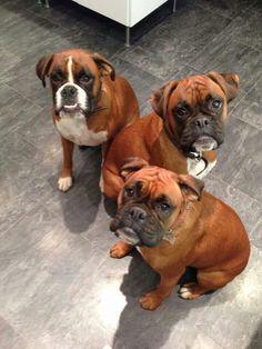 Triple threats for triple treats! #dogs #pets #Boxers Facebook.com/sodoggonefunny