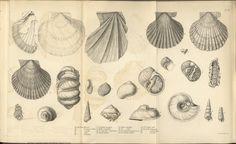Shell drawings by Charles Darwin