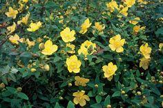 Hypericum x dummeri 'Peter Dummer' gedraagt zich meer als een bodembedekker of vaste plant. 40 cm. hoog, bloeiend van juli tot september en fraai rood aanlopend blad en stelen.