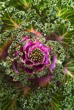 ~~BRASSICA OLERACEA - Ornamental cabbage by vishu shillong~~