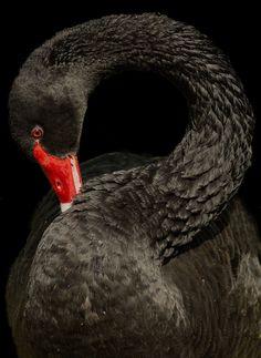Black Swan - Profile