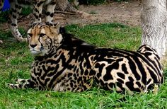 Facts: The King Cheetah morph is created by both parents carrying the recessive gene that causes it The King Cheetah was regarded as a separate species until 1981, when 2 cubs were born to 2 normal spotted cheetah's at the De Wild Cheetah and Wildlife Centre in South Africa.