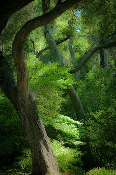 Descanso Forest - California Beautiful trees...some huge old Oaks at Descanso Gardens, near La Canada. Lovely Flower gardens, old roses...and in the Spring, hundreds of Camellias bloom. So relaxing to wander the trails... Used to have special Christmas displays with art goods and plants, wonder if they still do. A favorite place.
