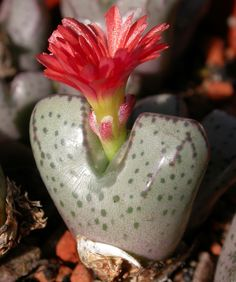 Conophytum turrigerum X marnierianum