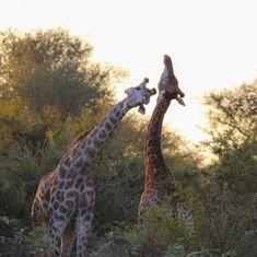 Giraffe love play in the Kruger Park.  #giraffes #southafricantourism
