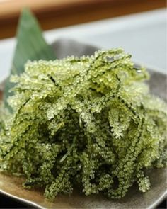 Sea Grapes - Japan Okinawan Speciality; Caulerpa spp.;馬尾藻