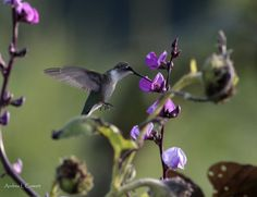 """H & H by Andrea Cowart on Capture Memphis // Hummingbird and Hyacinth bean flower. For MY BBFD. This won """"Photo of the Day"""" on Capture Memphis, 08/15/2015"""