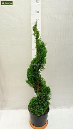 thuja occidentalis smaragd a spirale vendita piante. Black Bedroom Furniture Sets. Home Design Ideas