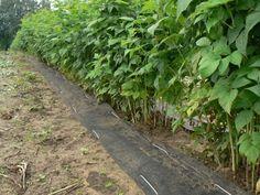 Чем и как мульчировать малину осенью и весной Growing Raspberries, Stepping Stones, Raspberry, Sidewalk, Vegetables, Outdoor Decor, Plants, Life, Gardening