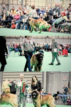 """""""Kobo""""  Leokings Too Much Temptation Jun Ch Won 1st place in Yealing class At crufts 2020 so so proud of our young man #Leonberger #Crufts #Hillhavenleonbergers #Kobo"""