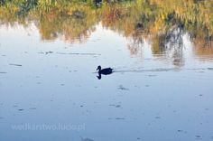 #duck on #Wisłok #river in #Poland