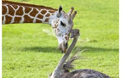 2 year old giraffe Hunna, and Omae – an ostrich, have become the best of friends