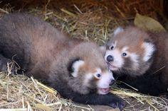 Nacen dos osos panda rojos en Nueva Zelanda