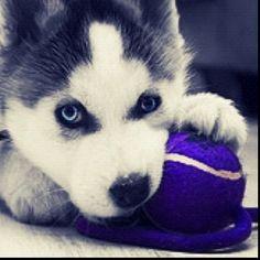husky purple