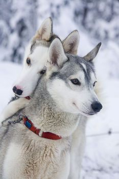Dogs for dogsledding | | Lapland's Image Bank, pictures on bears, wolfes, lynx, wolverine, foxes and birds
