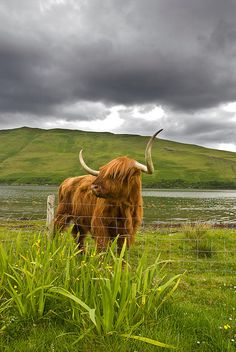 Highland cattle, Near Carbost Isle of Skye
