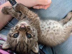 Does the bobcat kitten my friend is rehabilitating count? by portiafimbriata. What you think about? Funny Cat Pictures, Animal Pictures, Crazy Cat Lady, Crazy Cats, Kittens Cutest, Cats And Kittens, Bobcat Kitten, Small Wild Cats, Cool Cats