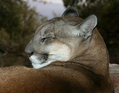 The cougar (Puma concolor), also known as puma, mountain lion, mountain cat, catamount or panther, depending on the region.  They usually weigh between 75 to 150 pounds (34 to 68 kg), but some males can weigh over 200 pounds (91 kg).