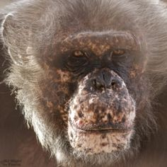 Meet Spock.What a gorgeous face. By NJ Wight. Check out fauna chimps.tumblr to learn more about these remarkable animals.
