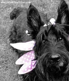 SOOO cute!!!  http://www.greatdogsite.com/photos/gallery/Scottish_Terrier/?index=4