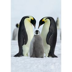 Emperor penguin parents and chick on Coulman Island, Antarctica.  Picture: Steve Bloom.