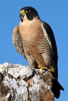 Peregrine Falcon seen on Morro Rock in Morro Bay, California Zippertravel.com Digital Edition