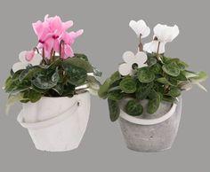 kwekerij van Adrichem potplanten  #Cyclaam