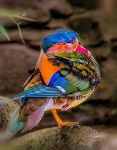 'Colorful Mandarin Duck Posingl' by fredstein Most Beautiful Birds, Pretty Birds, Love Birds, Exotic Birds, Colorful Birds, Bird Pictures, Animal Pictures, Beautiful Creatures, Animals Beautiful