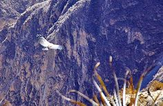 Pérou Canyon de Colca : le vol des condors