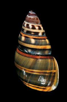 Amphidromus floresianus