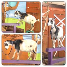 Highlights from Jackson the pygmy goat's beam routine at Saint Louis Zoo #perfect10?