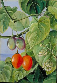 Kew: Marianne North Gallery: Painting 62: Foliage, Flowers, and fruit of False Tomato, painted in Brazil