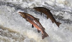 COLLAPSE: Hundreds of millions of Pacific salmon presumed dead as fish food sources collapse – NaturalNews.com
