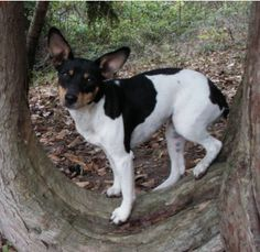 Am I cute or what? ~ Rat Terrier - Ti