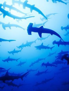 ENDANGERED AND CRITICALLY ENDANGERED: many species of sharks are threatened by human fisheries and by catch.