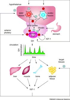 In contrast, SRIF antagonizes the effect of GHRH through membrane hyperpolarization by opening K+ channels leading to depletion of intracellular Ca2+ concentration, effectively inhibiting GH exocytosis (Kraicer & Spence 1981, Draznin et al. 1988, White et al. 1991, Tsaneva-Atanasova et al. 2007).