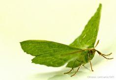 /Borboleta verde