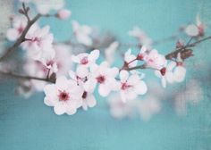 Blossoms by Shana Rae of Florabella Collection. Would love to take photos among cherry trees.