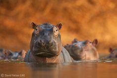 Pool of hippos