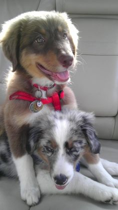 australian shepherd brothers on a couch